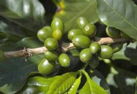 raw-green-coffee-beans